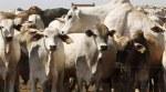 cowsmuggling